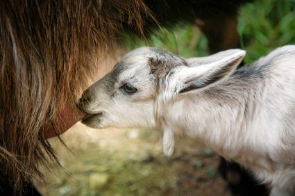 Козленок пьет молоко матери