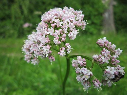 цветение валерианы