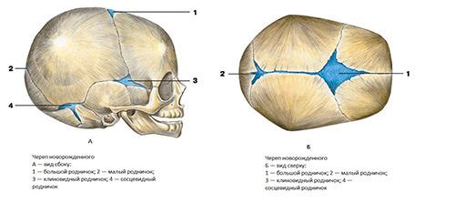 схема расположения родничка у грудничка