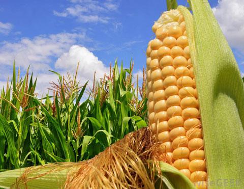 кочан кукурузы