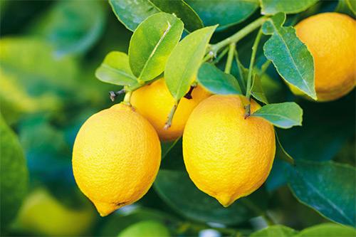 Может ли женщина, которая кормит малыша грудью, пить чай с лимоном, а также употреблять лимон в составе других блюд и напитков?