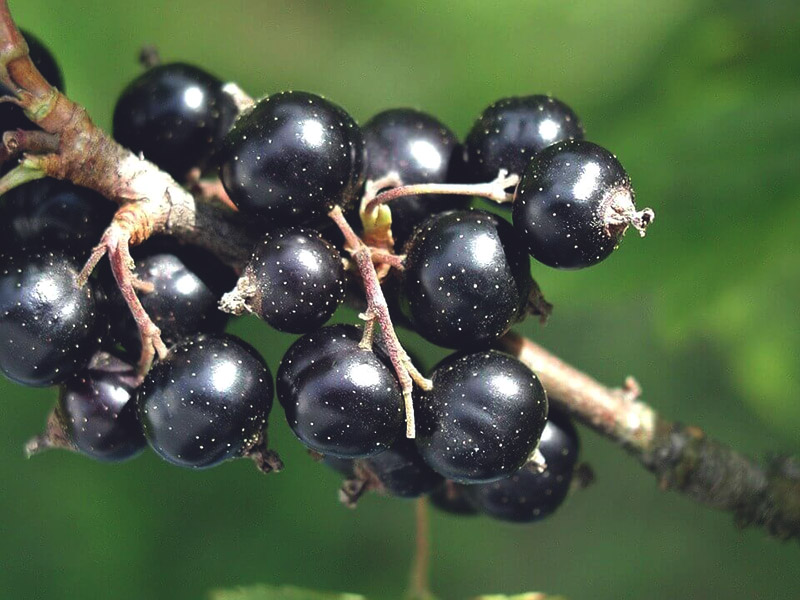 Разрешено ли кормящей маме есть черную смородину? Влияние ягоды на лактацию и здоровье малыша. С какого месяца можно вводить в рацион? Суточная норма